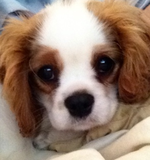 "Precious Puppy, ""Bandit"" (12 wks.)"