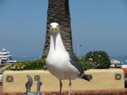 Imperial Interloper, Santa Catalina CA; May 2011 (Photography by Joanne Edith)