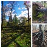 Trees in Peril - Sandy (October, 2012)