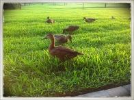Disney Lawn Ducks (Photography by Joanne Edith)