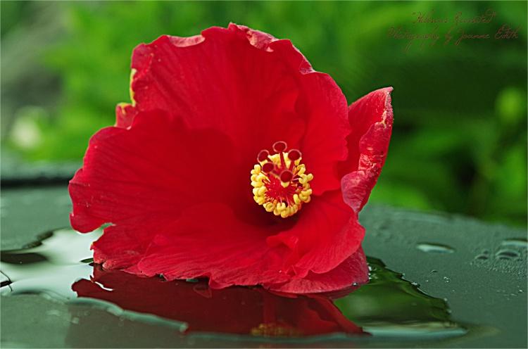 Hibiscus (Pentax K30, ISO 400, f/7.1, 1/100 sec)