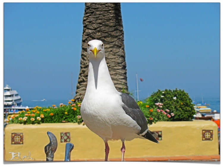 In the wilds of Santa Catalina, a regal gull fends off water fountain interlopers, claiming this outpost as his!