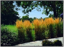 Golden Grass, Echo Lake, Westfield NJ